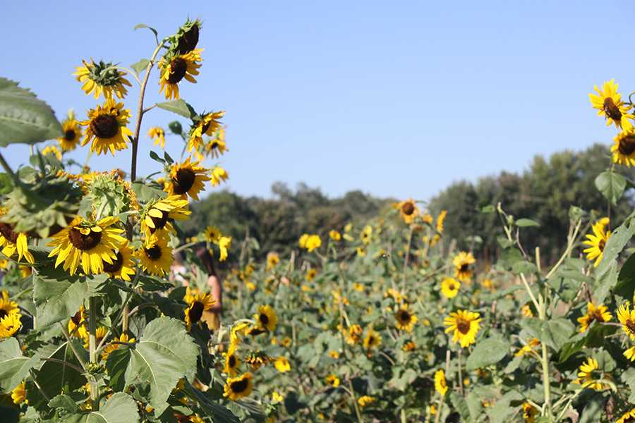The sunflower patch is home to bright yellow flowers and swarming bees. Many students came to The County Line Apple Orchard for the sunflower patch.
