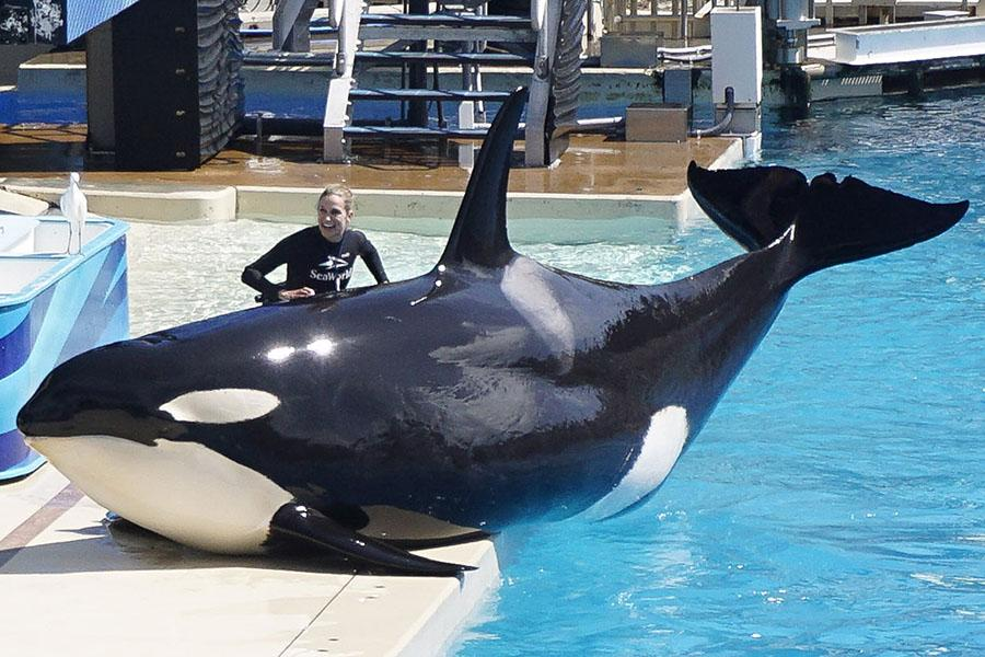 A+SeaWorld+trainer+rubs+one+of+the+killer+whales+during+a+performance+at+SeaWorld+San+Diego.+SeaWorld+has+been+criticized+for+their+mistreatment+of+animals.+Photo+provided+by+Tribune+Content+Agency.++++++%0D%0A