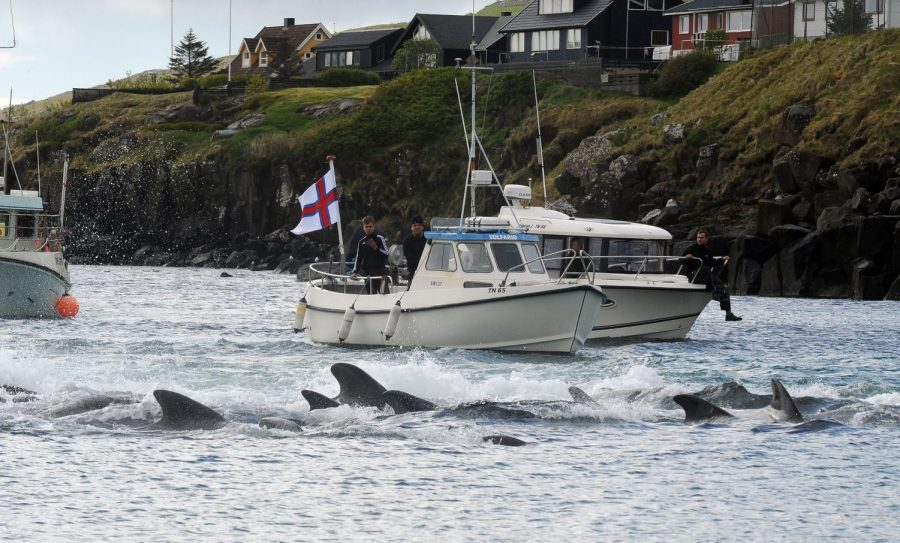 These dolphins were being rounded into pods closer to the Faroe Islands to be slaughtered. The pods the hunters killed were rather large, but easy to kill since they were using modern weapons.(Andrija Ilic/AFP/Getty Images/TNS)